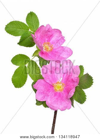Wild rose flower isolated on white background