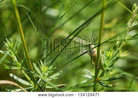 The green grasshopper sits on a grass. The little grasshopper. insect eats a grass. Grasshopper in a garden.
