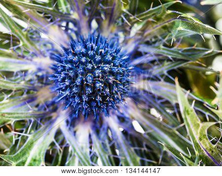 Blue Thistle (eryngium) Flower Close Up