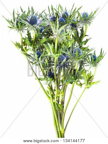 Bouquet From Blue Thistle Blossoms (eryngium)