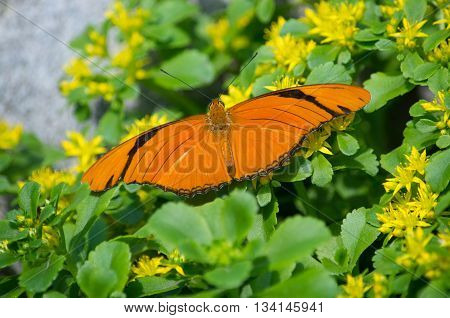 Julia butterfly (Dryas iulia) sitting on yellow flowers