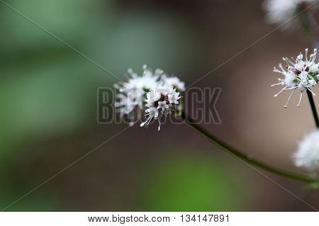 Flower of the wood sanicle (Sanicula europaea) a medical plant in Europe.