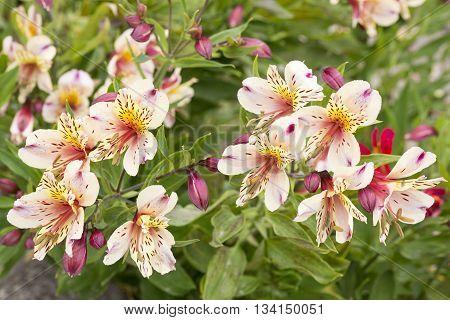 Alstromeria flowers in the garden, seen on the channel islands, UK, Europe