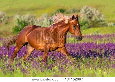 Red horse run gallop in beautiful flowers at spring day