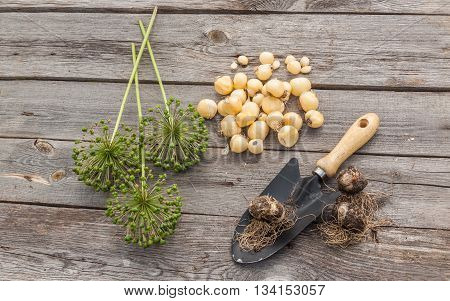 Bulbs Allium aflatunense garden shovel and faded blossoms on a wooden background