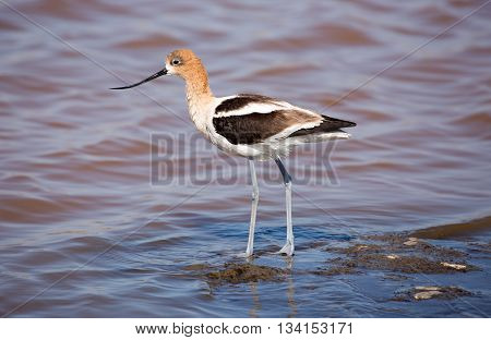 American Avocet (Recurvirostra Americana) perched in wetlands.