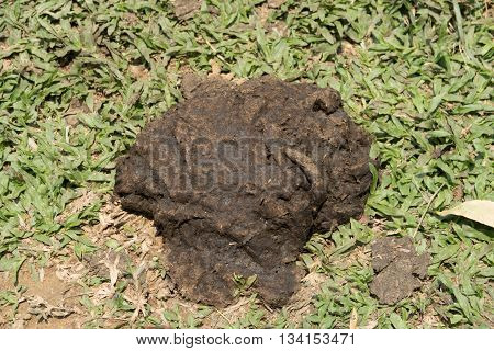 the Faeces of cattle on grass floor.
