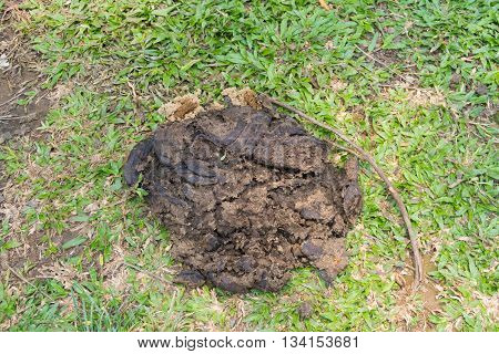 the Faeces of cattle on grass floor