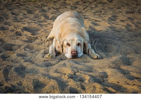 Yellow dog Labrador Retriever lying on the beach