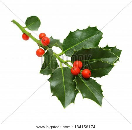 Green Christmas holly isolated on white background