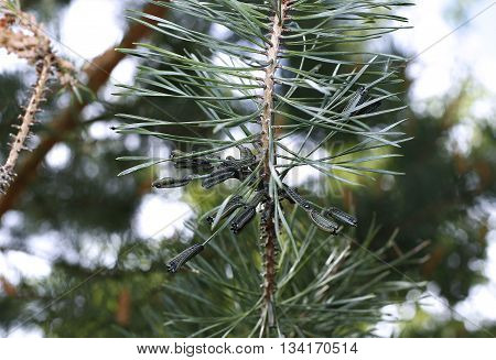 Caterpillars infest on pine branch pests destroy needles