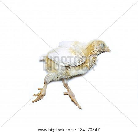 The body of a dead chicken broiler sick of coccidiosis isolated on white background