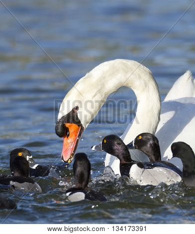 Ring-necked Ducks move in to steal food from distracted mute swan
