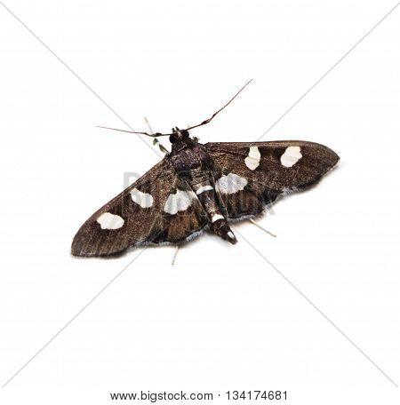 Grape Leafroller or Leaffolder moth (Desmia) on a white background