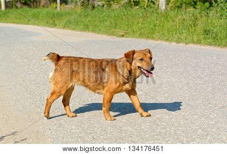 Cute female stray dog crossing the road.