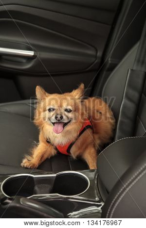 Pomeranian and Chihuahua mix dog goes for a ride in the car. He is strapped in with a harness that attaches to the seatbelt for safety.