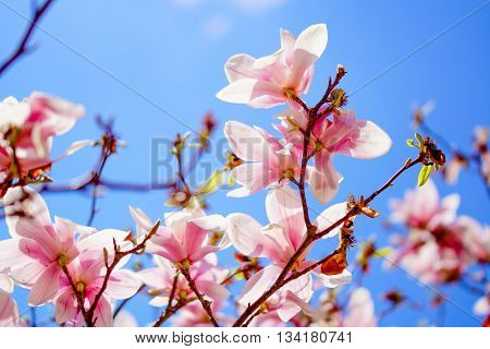 Pink cherry blossom tree in early spring