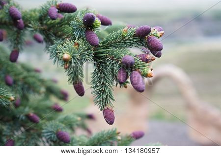 Pine tree branch with purple pine cones