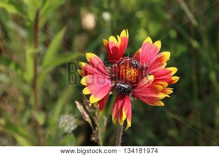 Summer flowers , gaillardia , lavender, and bee in the garden