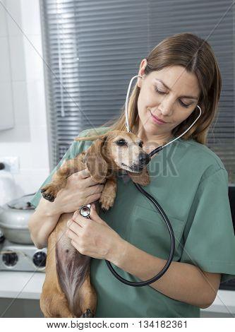 Female Vet Examining Dachshund With Stethoscope