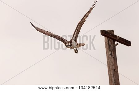 Osprey bird, Pandion haliaetus, takes off from a post in spring in Southern California, United States
