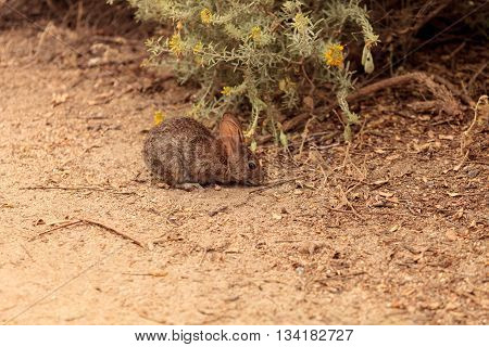 Juvenile rabbit, Sylvilagus bachmani, wild brush rabbit on a hiking path in Irvine, Southern California in Spring