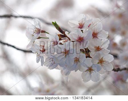Select focus Sakura. Cherry Blossom in Springtime. Beautiful Pink Flowers