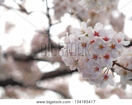 Select focus Sakura. Cherry Blossom in Springtime. Beautiful Pink Flowers