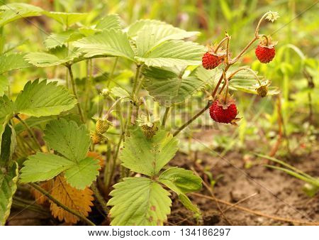 berries of wild strawberries growing on the forest glade