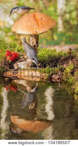 nuthatch standing under mushroom and nuthatch on it reflected in water