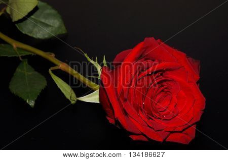 Wet red rose against a black background