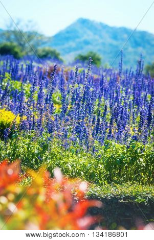 lavender or lavandula fields in the mountain