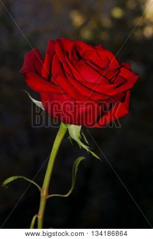 A red rose against a bokeh backdrop