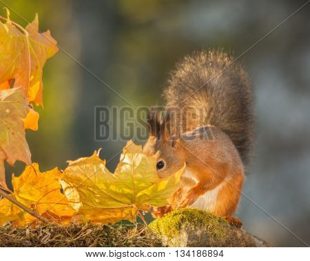 red squirrel standing with leaves and sun light