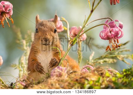close up of red squirrel standing with flowers