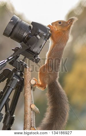 red squirrel standing on stairs with camera