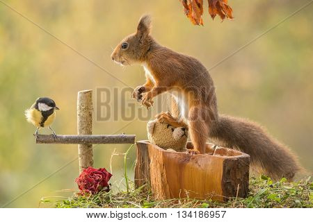 red squirrel with titmouse att a bears grave