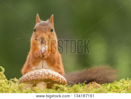red squirrel is standing with mushroom looking in the lens