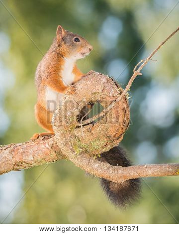 red squirrel is standing on a branch