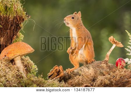 female red squirrel is standing with mushrooms