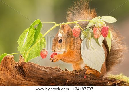 red squirrel standing with raspberry in hands