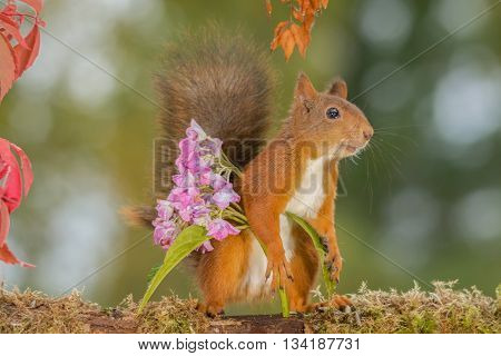 red squirrel  is standing over a flower