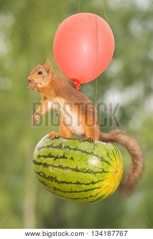 red squirrel hanging out of a melon balloon