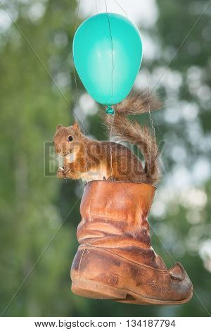 red squirrel sitting in a shoe with a balloon