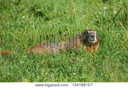 Yellow bellied marmot grazing in a meadow