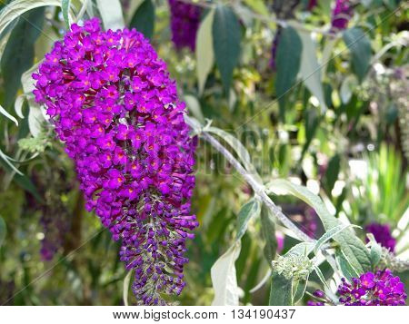 beautiful purple flower on the background of the garden, a lilac