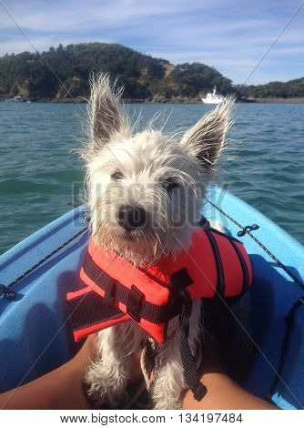 West highland terrier puppy dog on a blue kayak wearing an orange lifejacket (life vest). Photographed in New Zealand.