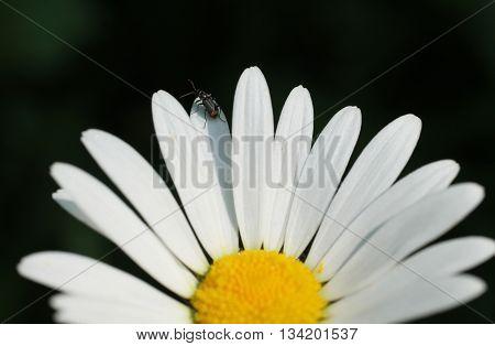 close photo of tiny insect on petals of daisy wheel