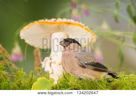 female bullfinch in front of a mushroom
