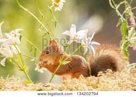 red squirrel is standing between flowers in light